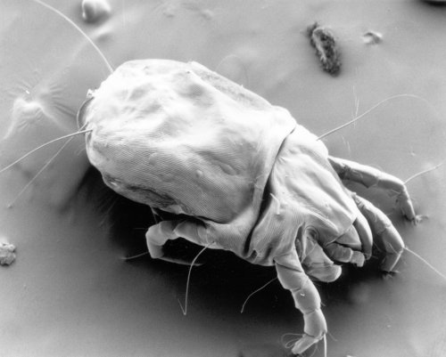 female dust mite